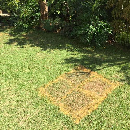 張り替えて2週間目の芝生、、馴染んできたでしょ~♪