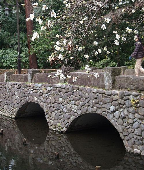 3月17日(2015) 井の頭池のコブシ:井の頭の地名は、江戸時代3代将軍の家光が鷹狩にこの地を訪れた際、豊かな湧水に驚嘆し池のほとりのコブシの木に名を刻んだという伝説があります