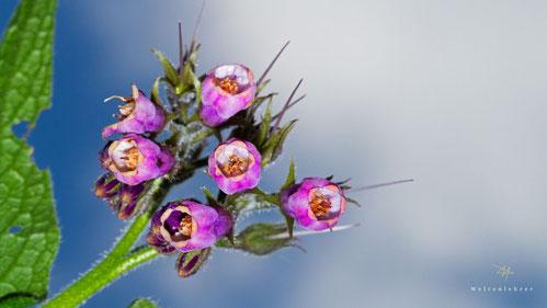 beinwellblüte