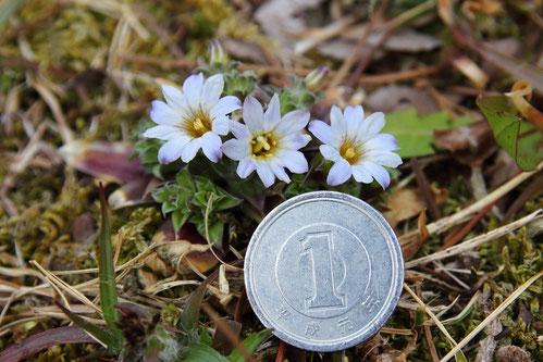 1円玉の直径は20mm。 花の径は、約その半分か。 ちっちゃなリンドウです