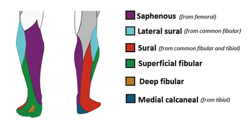 sensory function of the nerves of the lower leg