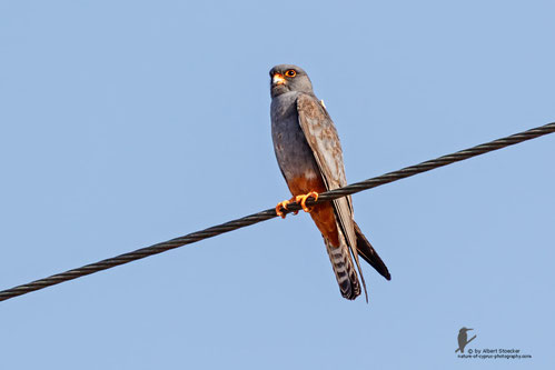 The Red Footed Falcon Falco Vespertinus Formerly Western Is A Bird Of Prey It Belongs To Family Falconidae