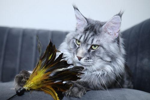 blue silver mackerel tabby maine coon cat