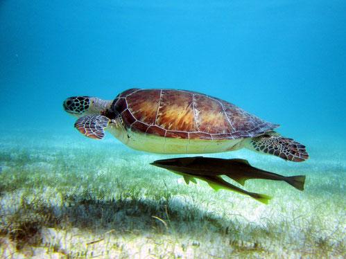 Santi Tour engagiert sich für Meeresschildkröten