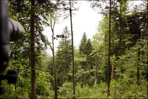 nid Pic à dos blanc - Pic de Lilford - Pyrénées atlantiques