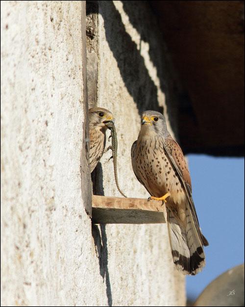 Couple de Faucons crècerelles- Précilhon - 64