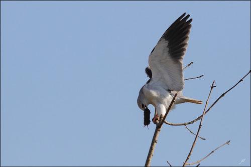 Elanion blanc ayant capturé un campagnol