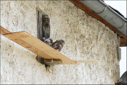 Nichée faucons crècerelles Pyrénées atlantiques