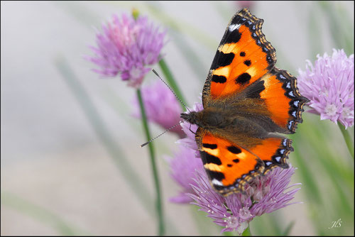 Papillon Petite tortue (Aglais urticae) - Précilhon - 64 - Pyrénées atlantiques