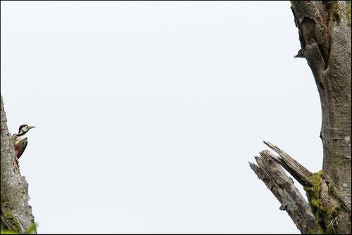 Pic de Lilford  (Dendrocopos leucotos lilfordi) - 64 - Pyrénées atlantiques