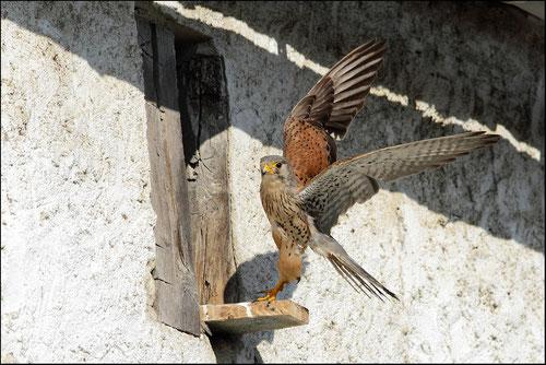 Faucon crècerelle mâle Pyrénées atlantiques