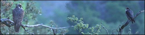 Couple de Faucons pèlerins avant le lever du jour sur leur reposoir (pano réalisé à partir de 2 photos car les 2 ne rentraient pas dans le champ du téléobjectif)