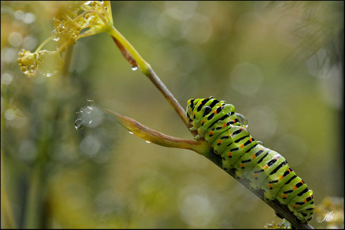 Chenille de Papilio machaon dans fenouil - Pyrénées Atlantiques -Jean-louis SOULE Photographies