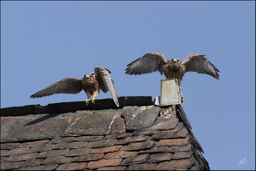 Nichée faucons crècerelles Pyrénées atlantiques - Jean-louis SOULE