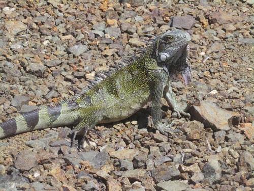 Iguana im Garten