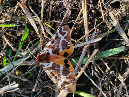 Artica caja or Garden Tiger moth. Poisonous to birds and other predators not to humans.