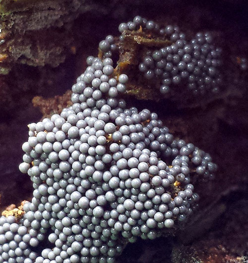 Zandkleurig lantaarntje op beuk, Herbertusbossen