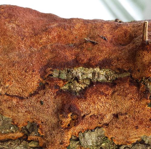 Korstvuurzwam of paarse wasporia? Lange Bleek.