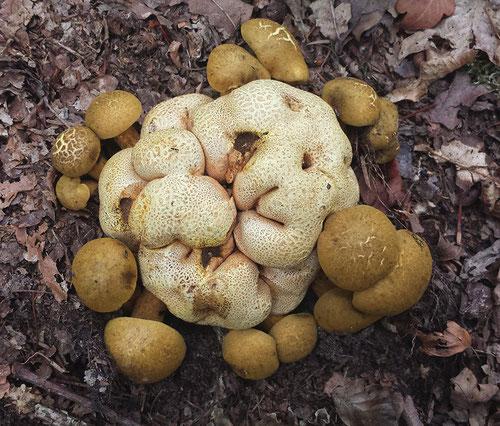 Kostgangersboleten op aardappelbovist, Herbertusbossen