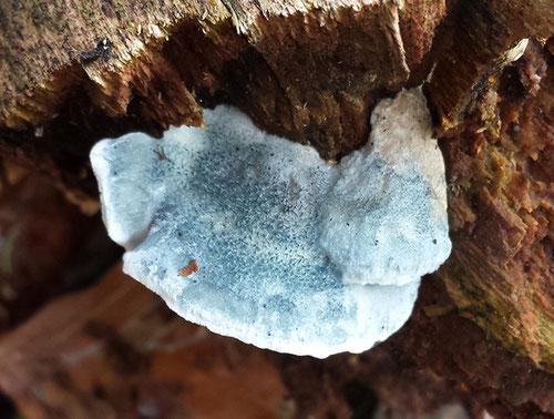 (Vaal)blauwe kaaszwam, Herbertusbossen