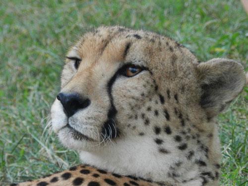 Cheetah at Emdoneni