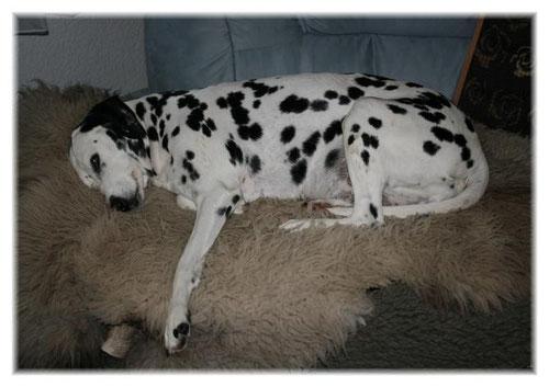 Ein Sofa war nicht genug. Erst eine Teddydecke und ein schönes Bio-Lammfell haben es für Yosie so richtig gemütlich gemacht.