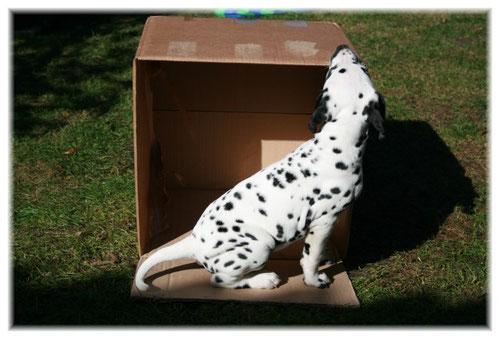 """""""Earl Hugo"""" beim Vermessen des Kartons. Er wollte wohl prüfen, ob alle seine Sachen auch hinein passen, wenn er ausziehen darf...!"""