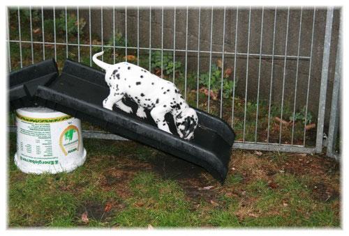 """Herr Grün erobert """"oben ohne"""" die neue Hunderampe im Welpenauslauf...."""