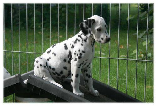 Elliot (gen.: Duke) auf der heißbegehrten Hunderampe....!