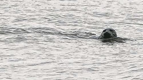 Das Bild zeigt den neugierigen Seehund vor Finkenwerder