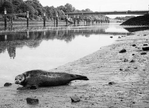 Seehund Bremen
