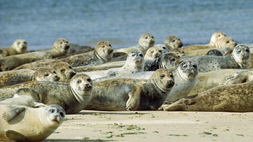 Seehunde phoca vitulina harbour seals hepatitis-A
