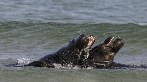 Kegelrobben Schweinswale Seehunde