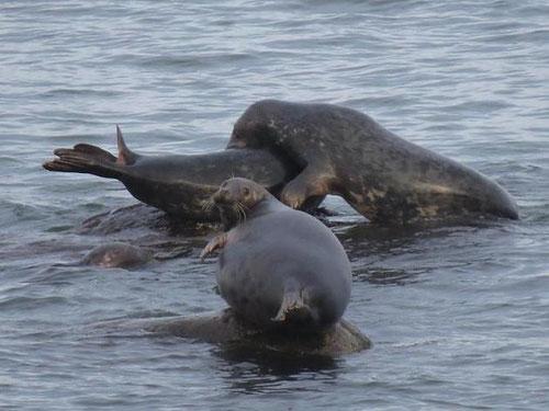 Das Bild zeigt spielende Kegelrobben in der Ostsee