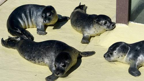 Seehunde Friedrichskoog