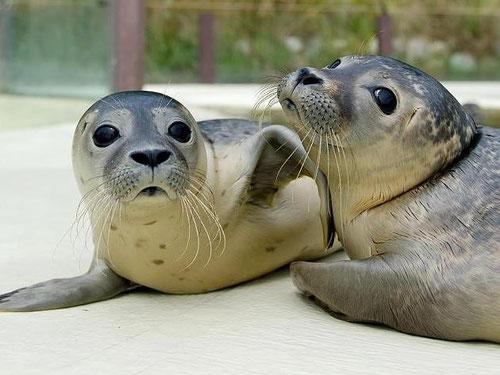 Zwei junge Robben in der Seehundstation