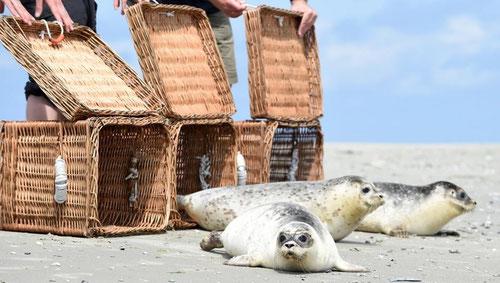 Seehunde Heuler Auswilderung Juist Seehundstation