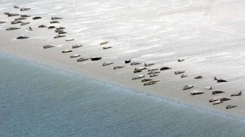 Seehunde Sandbank Luftaufnahme Niedersächsisches Wattenmeer