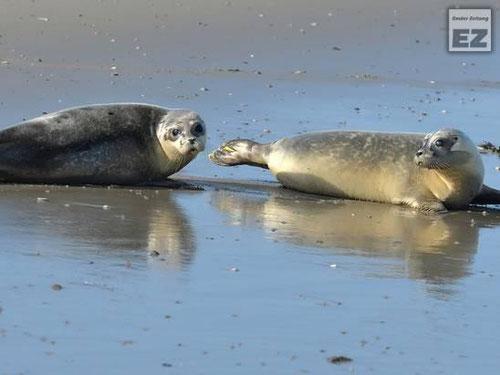 Seehunde phoca vitulina Zählflüe 2015 Bestandsermittlung