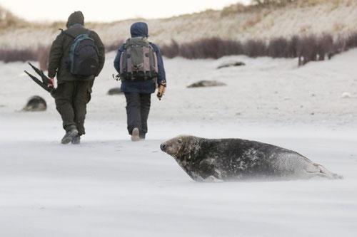 Zu Seehunden und Kegelrobben sollte man Abstand halten, die rücksichtslosen Fotografen auf diesem Bild begehen (vielleicht ungewollt) eine massive Störung unserer Meeressäuger. Hier ist eine Helgoländer Kegelrobbe (halichoerus grypus) zu sehen.