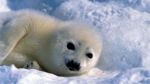 Arktische Meeressäuger sind offenbar stark mit dem giftigen Quecksilber belastet