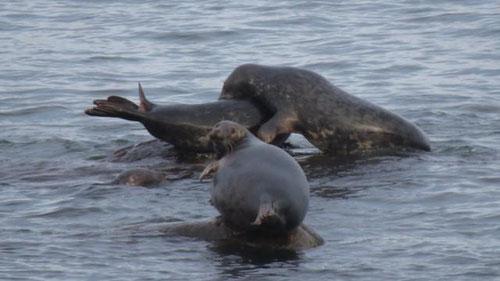 Das Bild zeigt die verschwundene trächtige Kegelrobbe der Greifswalder Oie in der Ostsee