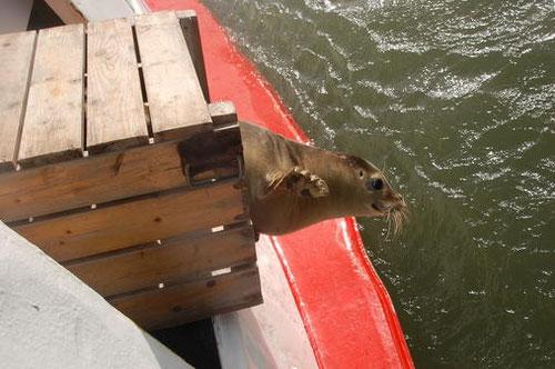 Seehund springt von der Etta von Dangast in die Freiheit, die Nordsee