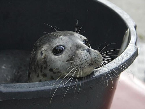 Heuler Auswilderung Seehundstation Friedrichskoog