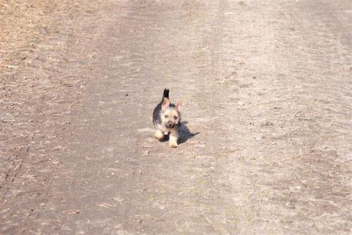 Norwich Terrier Welpe