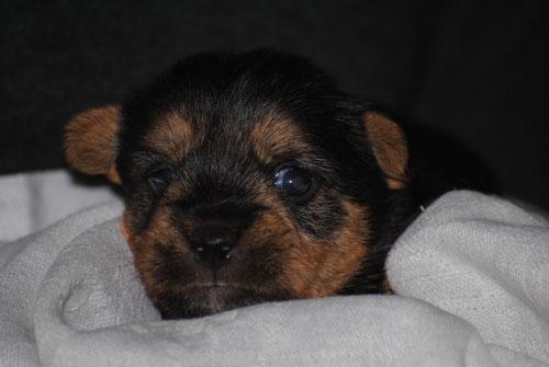 Norwich Terrier Welpe Hündin