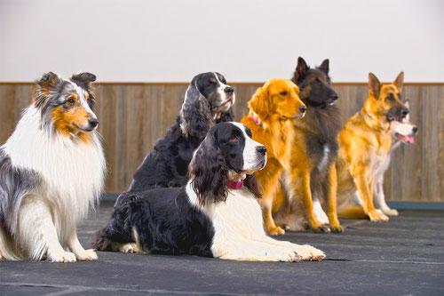Amican. Elegir a nuestro perro. Hotel Escuela Canina Asturias