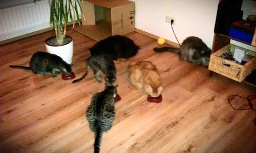 Unser Katzenrudel zu Hochzeiten. Sechs Stück waren bei uns Zuhause.