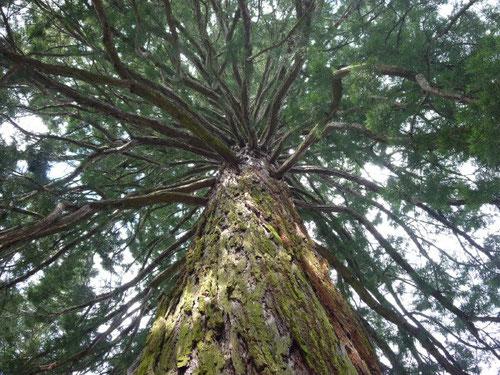 Mammut Baum, Lassalle Haus, Schweiz. Foto: Th. Matla