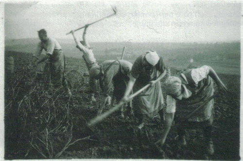 Das Bild zeigt die Zichorienemte in Flehingen 1935